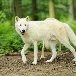幻の白いオオカミ?