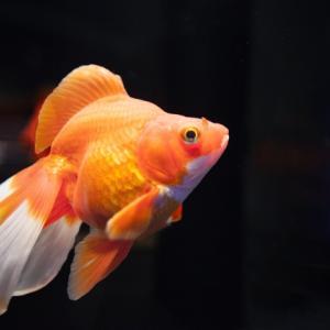 金魚の転覆病を改善させよう!