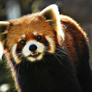 多摩動物公園でレッサーパンダの嫁入りが行われます