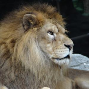 最新事情!ライオンやトラ、熊などの猛獣って個人で飼えるの?