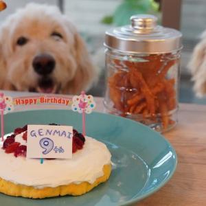 【暮らしVlog】玄米(ゴールデンドゥードル)9歳の誕生会 / 手作りケーキでお祝い /犬との暮らし