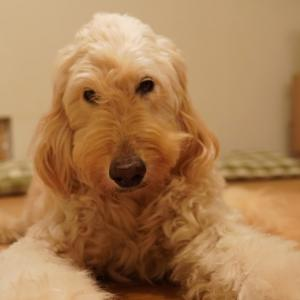 我が家の愛犬 ゴールデンドゥードル小麦とのお別れ