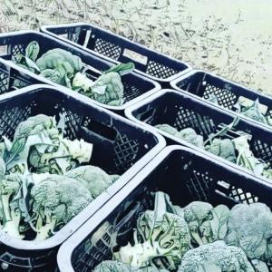 2020/10/19 収穫 定植準備
