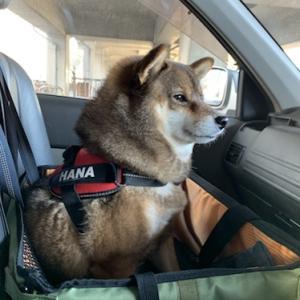 車の乗り降りに注意!犬は突然脱走する。柴犬花の脱走体験談。