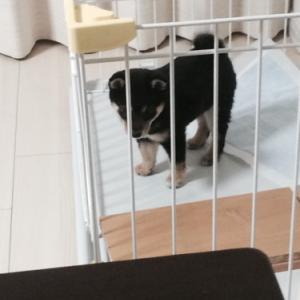 柴犬の体重って何キロくらい?成犬になってからびっくりしないために事前に知っておきたい話。