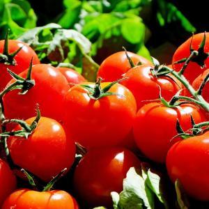 【デイトレ】10/26 ミニトマト収穫最盛期!デイトレできず…