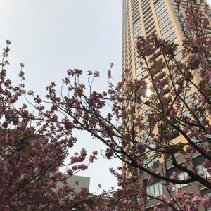 中目黒 八重桜