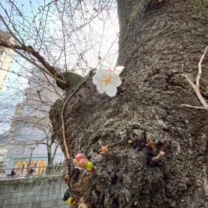 うれしいプリンと目黒川の桜