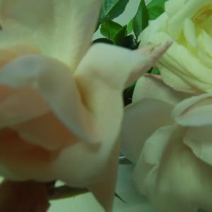 今年最後のバラ