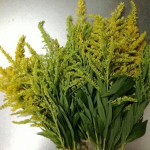 セイタカアワダチソウで草木染め!花のイメージ通りの鮮やかな黄色に染まりました。