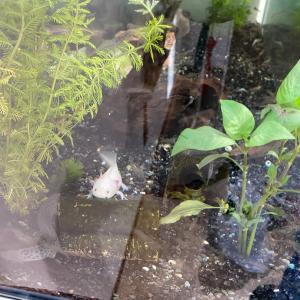 水槽に水草とエビを入れた