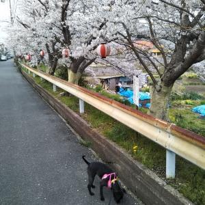 本日のあんこは、さくら咲く