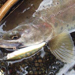有終の美とまでは言わないけれど、禁漁日前日の尺山女魚は良いものだ……と言う話