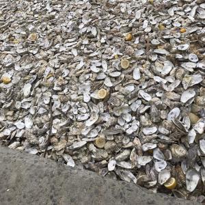 ナポレオンが愛したカンカルの牡蠣…超特大は次元が違う