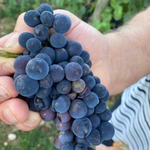 ブルゴーニュ再び…さて、今年(2020年)のブドウの出来は?