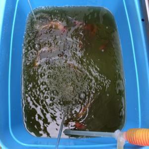 東錦と丹頂池のお掃除。