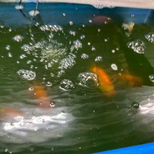 4歳種魚池の水換えと餌やりのタイミング。