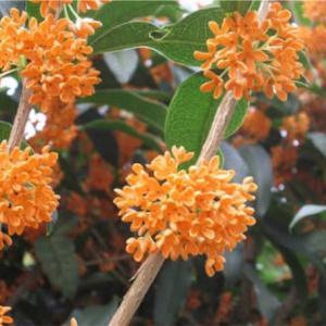 金木犀の香りは、秋にピッタリ! 和と洋なアレンジのフレグランスを紹介します!