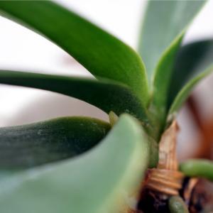 空中栽培中のミニ胡蝶蘭から芽らしきものが