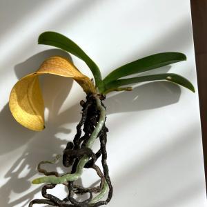 空中栽培のミニ胡蝶蘭その5:空中栽培なのに根腐れ進行