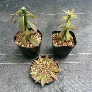 キリン団扇カット&種蒔き