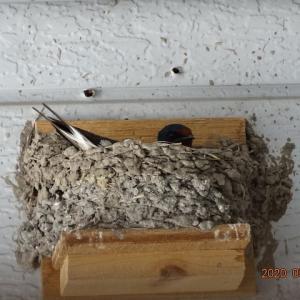 ツバメ抱卵始める