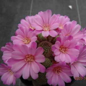 今日のサボテンの花