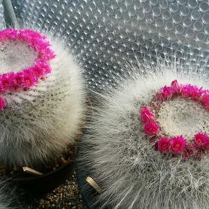 咲き進んだサボテンの花