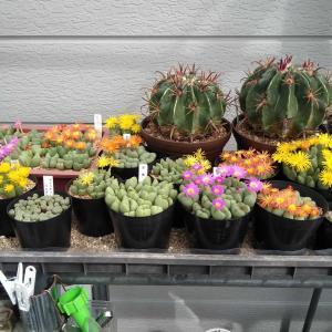 コノフィツム 花色々