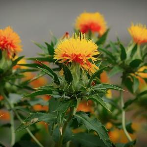 【末摘花】スエツムハナってどんな花? 名前の由来は?【とは】