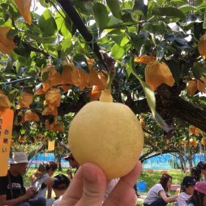 奈良の梨狩りは吉野にある大淀町の龍水園がおすすめですよ