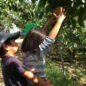 滋賀県の竜王アグリパークで梨狩りをしてきましたよ
