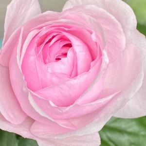 オリビアローズオースチンが咲きました♪ 7回目葉面散布
