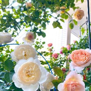 バラのシーズンが始まった💕