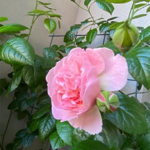 東側小さなベランダのバラ達
