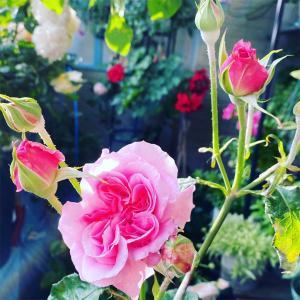 ジュリエット&ミランダ DAローズ バラ育ててみませんか?♪