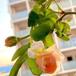 リセット後のバラに肥料♪ きっかけ一つ。