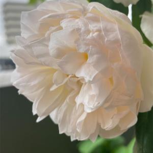フワフワのバラ達
