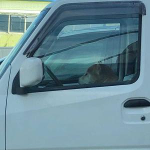 高知の芝犬ドライバーと香箱座りのミケ