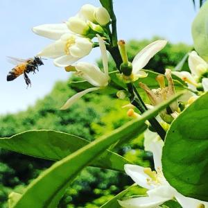 みかんとミツバチ