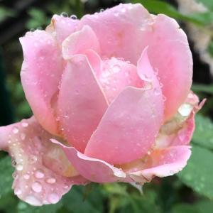 台風去ってまた雨が。庭いじりしたくてウズウズしちゃう~!