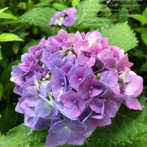 紫陽花いろいろ。〜実家編〜