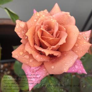 雨粒をまとった禅ローズの禅さんの美しさ