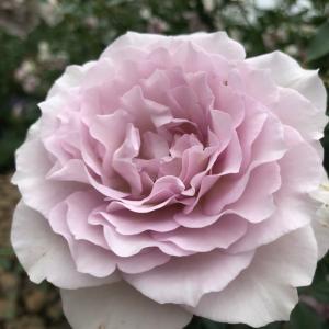 偏頭痛と脳天気な夫!バラの画像で癒される回。