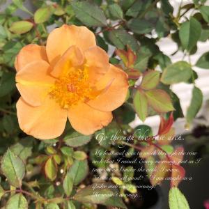 チャーリーブラウン!バラ、秋の開花