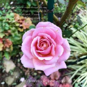 名前を知らないバラが咲いたよ