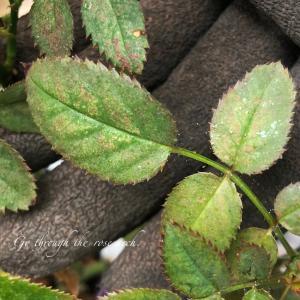 バラの葉っぱでうごめく小さな虫の正体とは