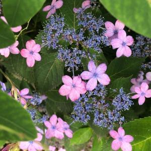 紫陽花はお好き!?