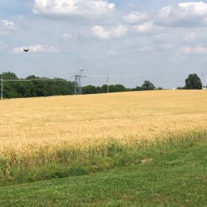 小麦畑が色づいてきました… 初夏から本格的な夏になろうとしています。