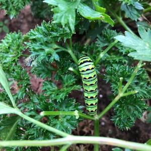 キアゲハの幼虫がパセリを食い散らかしていました…